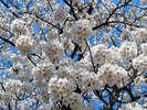 和倉から車で15分、小高い丘にございます七尾随一のお花見スポット「小丸山公園」。夜桜も楽しめます。