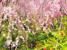 【原谷苑】京都桜の隠れ里としても知られています。 知る人ぞ知る、桜の名所です。