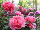 由志園 色鮮やかな牡丹の花を観賞できます。