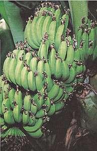 温泉熱を有効利用した温室で育った自家製温泉バナナ