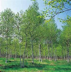 新緑の白樺林