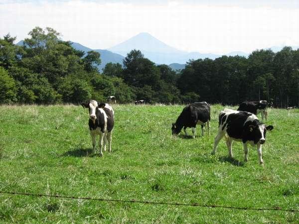 八ヶ岳牧場では牛もゆったり!!