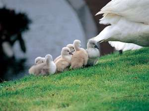 湖のほとりで遊ぶ白鳥の親子。微笑ましい姿が心を癒してくれます。