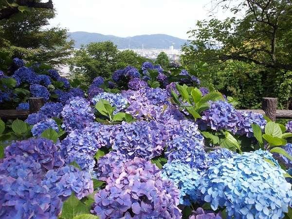 福井市の花、足羽山公園のアジサイ 6月上旬から7月上旬が見頃です。当館より歩いてすぐ!