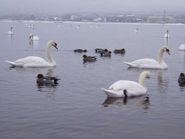 白鳥の湖(山中湖)