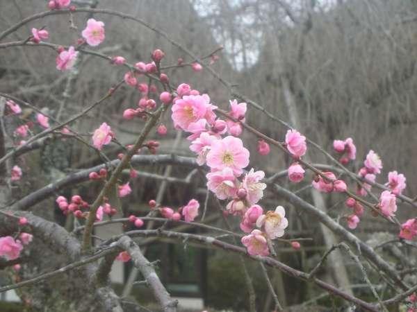 【冬】慧洲園のしだれ梅。見ごろは2月中旬~3月上旬まで。