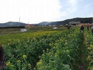いすみ市特産 食用菜花畑