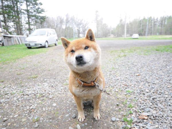 【愛犬】キンタ君がお客様をお迎えします。