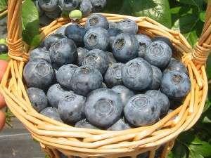 無農薬栽培のブルーベリーは摘み取ったそのままで食べることが出来ます