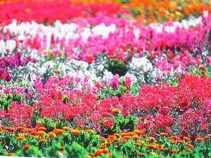 お花畑の絨毯