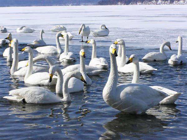 *冬/この季節、屈斜路湖には真っ白なオオハクチョウが飛来します。