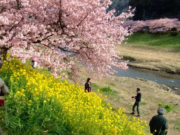 2月5日~3月10日桜と菜の花と川と川向こうの桜も情緒があります。【みなみの桜と菜の花祭り】