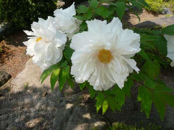 お庭で咲いている花