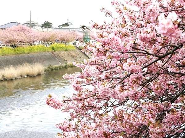 河津の桜祭りは 2/5(土)~