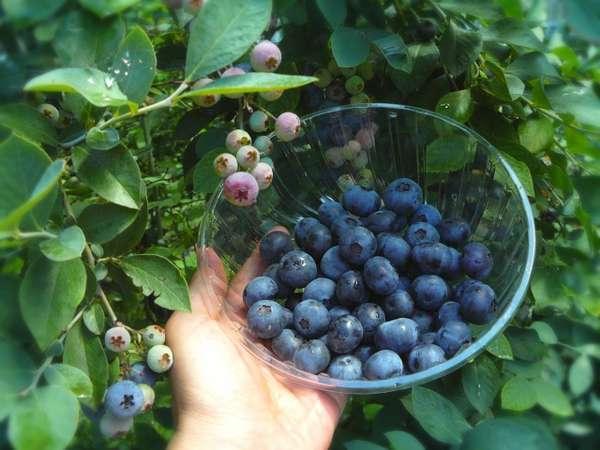 ブルーベリー狩り♪目に優しい美味しい果物を是非皆さんで♪