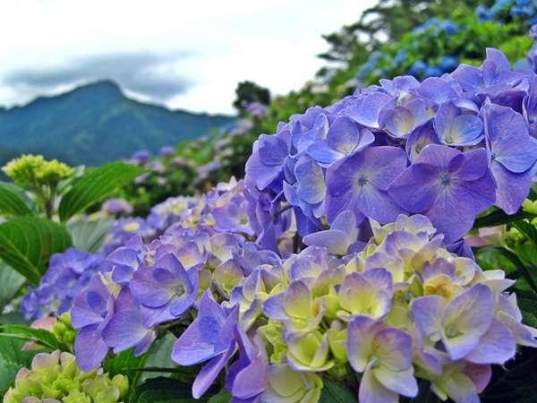 【周辺観光・自然】あじさい/6中旬~7月上旬