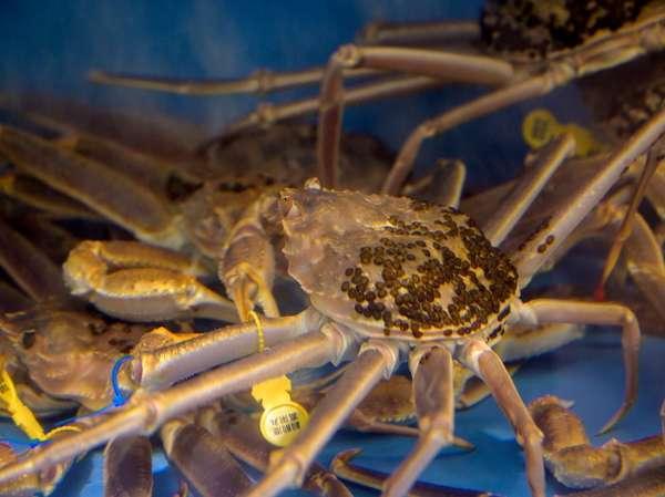 【越前蟹】 生簀より新鮮な越前蟹を茹でてご提供させて頂きます。