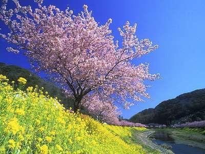 南伊豆のみなみの桜と菜の花まつりも2月から開催です。