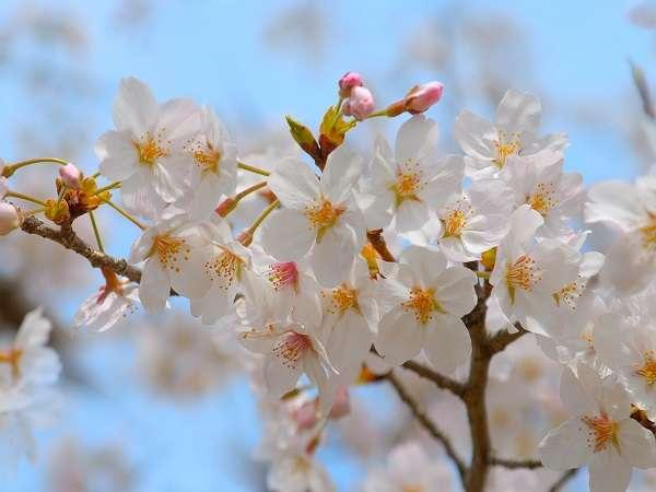 【春旅】春らしい『桜のお酒』と上質やわらか『信州和牛』を味わう♪春の山みず季≪特別会席≫