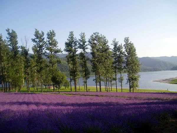 ◆見事なラベンダー園