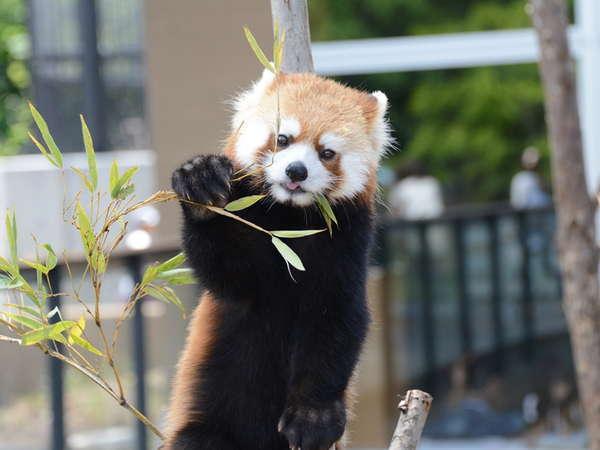 【美味旬旅】ファミリーで!カップルで!円山動物園へ行こう♪【朝食付】★小学生まで添い寝無料★