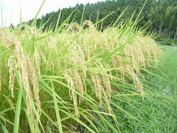 新米の季節だけ!おいしい能登棚田米を味わってみませんか