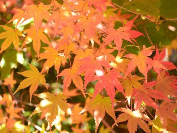 八ヶ岳エリアの紅葉は10月中旬~11月中旬ごろが見頃♪