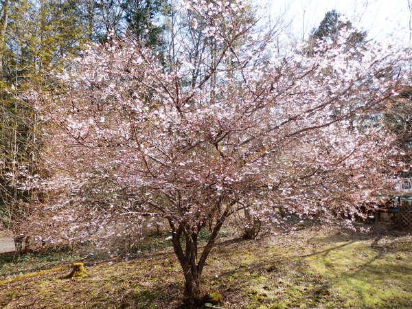 ココットの富士桜1