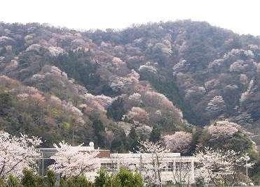 神子の山桜。山一面に咲いてキレイですよ♪船上からの眺めがおススメ!