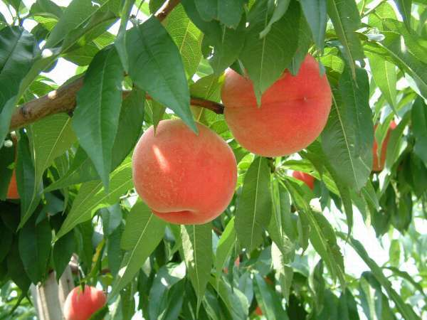 【フルーツ王国福島で】温泉と旬の果物満喫プラン【果物狩り!】