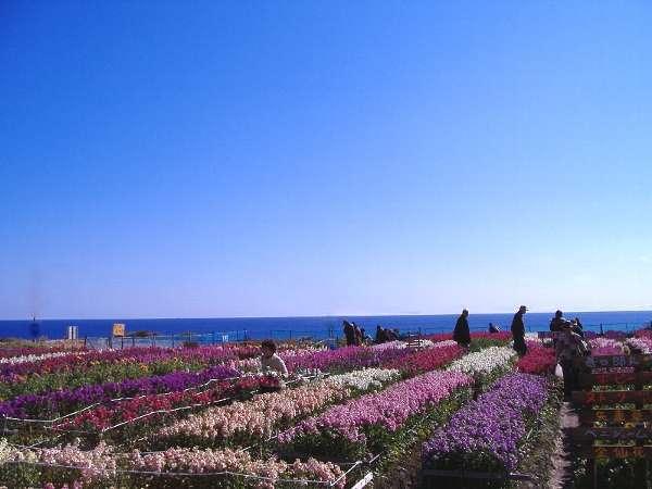 南房総で一番有名なお花畑【白間津】♪ホテルから車で5分!花畑の先には太平洋が広がります。