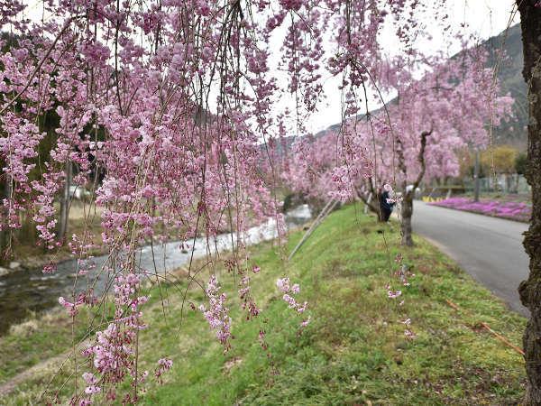 *周辺 /春には満開の枝垂桜(しだれ桜)をご覧いただけます♪