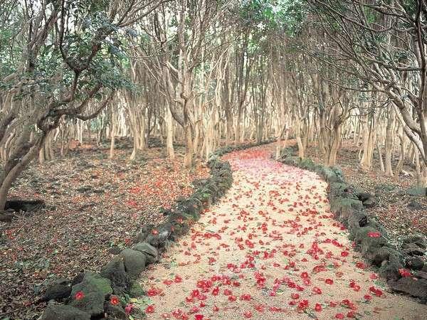 笠山の先端部分にあたる虎ヶ崎灯台周辺には10haの広さに約25,000本のやぶ椿が自する椿群生林