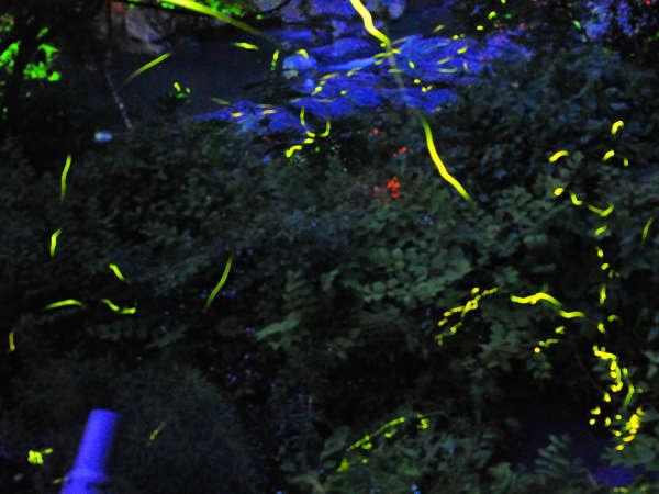ホタル幻想の舞いは6月が旬。なんと!☆彡宿のあるじが手掘りの池で育てたホタルたちです(^^♪