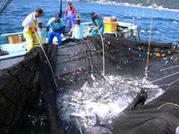 当館の目の前では、定置網漁をおこなってります!