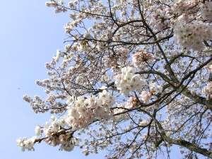 館を囲むようにして植えられた桜の木々。お部屋からもご覧頂けます。
