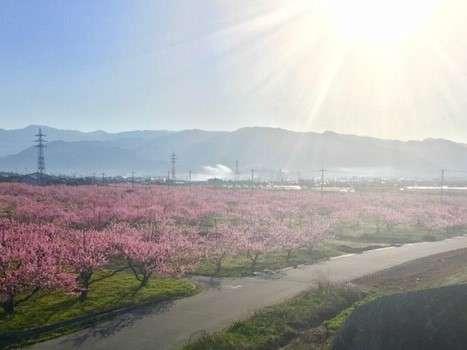 ピーチラインから望む桃の花