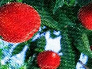 新鮮ジューシー甘い桃狩りも楽しい&美味しい