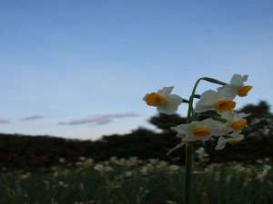 夕暮れ時の水仙は、とても綺麗です♪【下田水仙まつり・12月中旬~2月初旬】