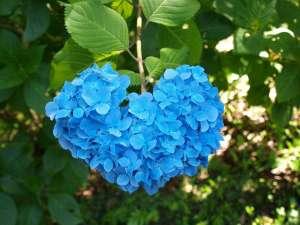ハート型の紫陽花を発見♪【下田あじさい祭り・6月の一か月間開催】