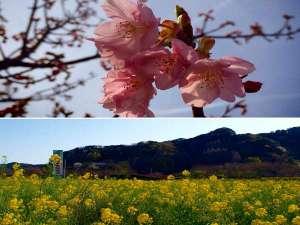 【みなみ桜と菜の花まつり】2月10日~3月10日開催in下賀茂温泉・青野川沿い