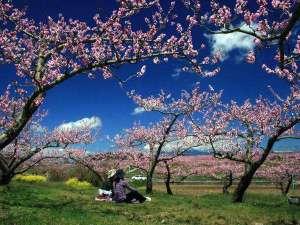 4月、「桃源郷」甲府盆地をピンク色に染める桃の花