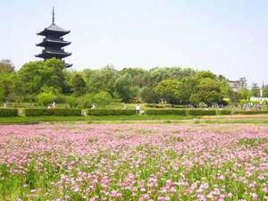 備中国分寺のれんげ。一面がれんげに覆われます。毎年お祭りもありますよ。