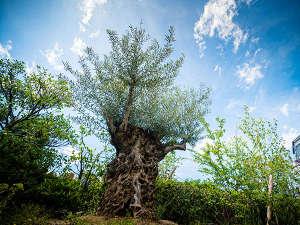 平和の象徴250年オリーブの樹