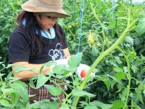 トマト収穫の様子。枝からもトマトの香りがするんです