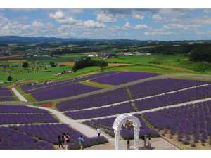 紫のじゅうたん(ラベンダー)日の出公園からステラを望む(右上にステラが)