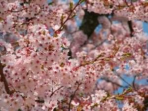 桜の見ごろは例年4月中旬から下旬です
