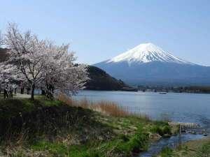 ≪春≫徒歩6分ほどで行ける河口湖の湖畔は桜並木と富士山を同時に楽しめる。※写真は去年の様子