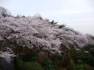 ロビーからの桜♪ 【2011年4月10日撮影】