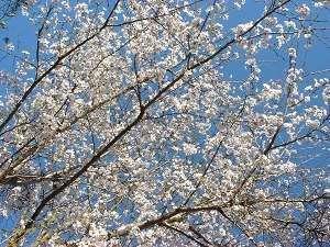 【天水:春】敷地内には数多くの山桜が有り、この時期ならではの色合いをもたらしてくれます。